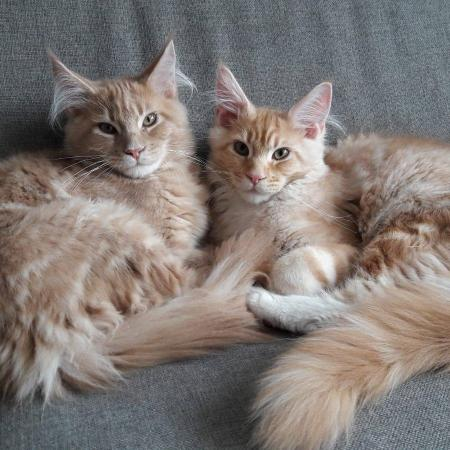 Maine Coon kittens , katers en poezen