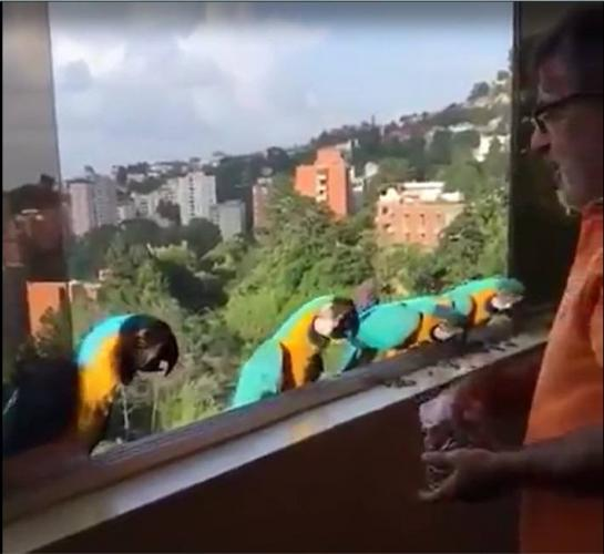 Macaws visiting and eating. Caracas. Venezuela