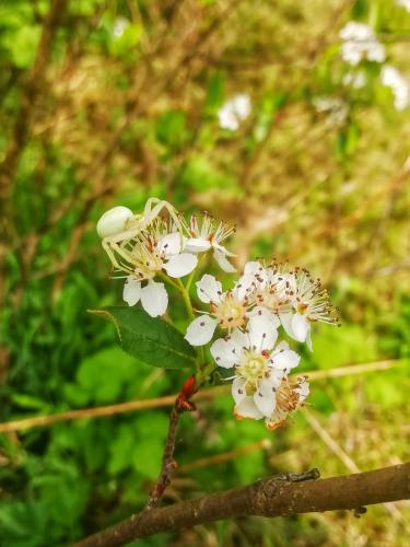 Little spider on aronia flowers
