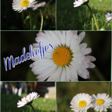 Madeliefjes