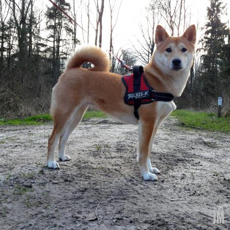 Shiba in the forest