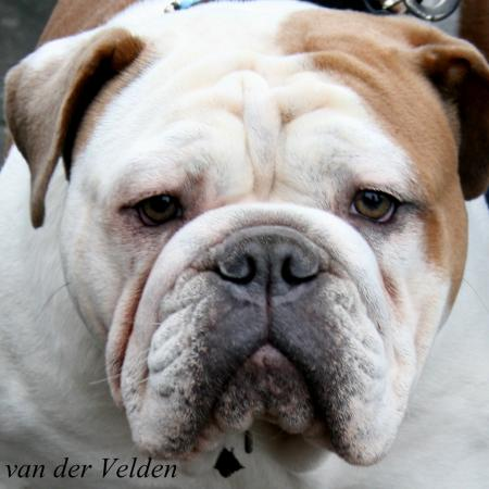 EKC 19 Febr OldEnglishBuldoggen
