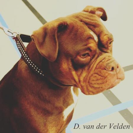 Ekc 19febr. Old English Bulldog