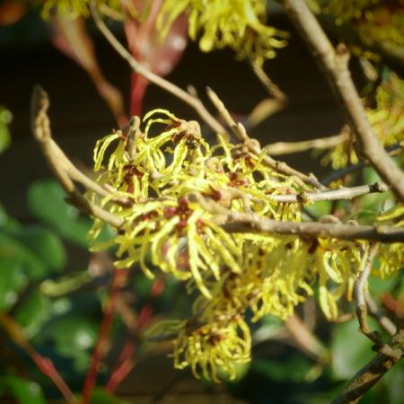 hamamelis of toverhazelaar