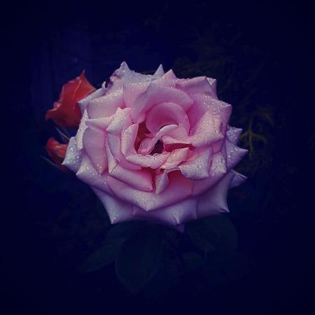 Rose in my neigbours backjard ♡