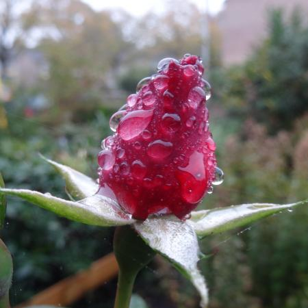 Red rose in the morning dew...